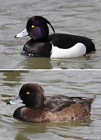 Хохлатая чернеть, самец и самка,2007