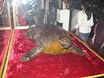 Чучело умершей черепахи в витрине в Храме Нефритовой горы