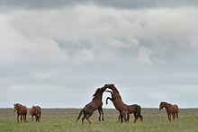 Дикие кони острова Водный