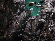 Аквариум с видами рыб, привезёнными с озера Малави (Чикаго, Lincoln Park Zoo)