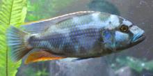 В озере обитают множество видов семейства Цихловые, на снимке — цихлида Ливингстона (Nimbochromis livingstonii)