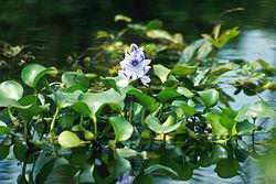 Водяной гиацинт Eichornia crassipes