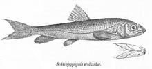 Лжеосман-нагорец (Schizopygopsis stoliczkai), обитающий в озере Зоркуль