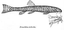Памирский голец (Triplophysa stoliczkai), обитающий в озере Зоркуль