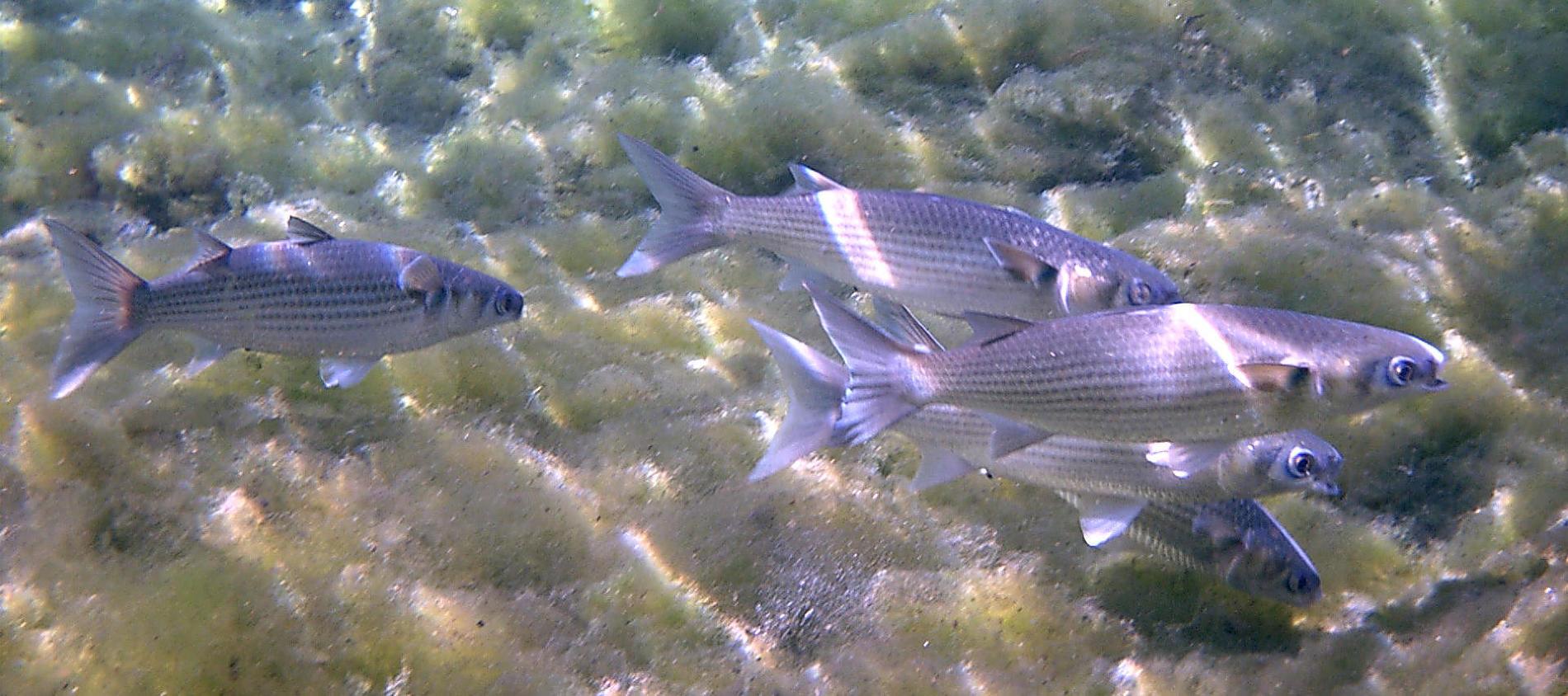 Какие рыбы обитают на Черном море